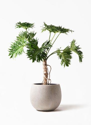 観葉植物 セローム ヒトデカズラ 8号 根あがり テラニアス ローバルーン アンティーク ホワイト 付き