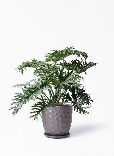 観葉植物 セローム ヒトデカズラ 8号 ボサ造り サンタクルストール ブロンズ 付き