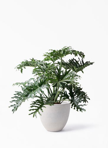 観葉植物 セローム ヒトデカズラ 8号 ボサ造り スタウト アッシュラウンド 付き