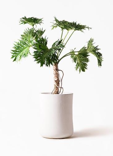 観葉植物 セローム ヒトデカズラ 8号 根あがり バスク ミドル ホワイト 付き