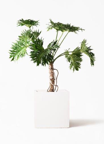 観葉植物 セローム ヒトデカズラ 8号 根あがり バスク キューブ 付き