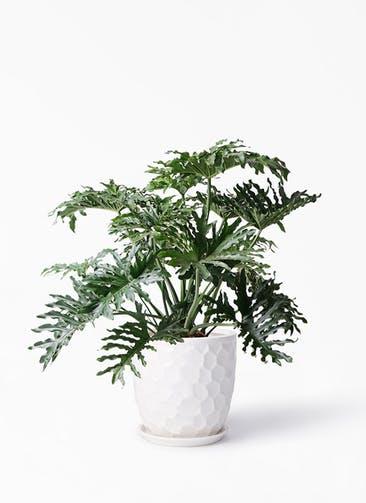 観葉植物 セローム ヒトデカズラ 8号 ボサ造り サンタクルストール 白 付き