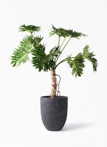 観葉植物 セローム ヒトデカズラ 8号 根あがり ビアスアルトエッグ ブラック 付き