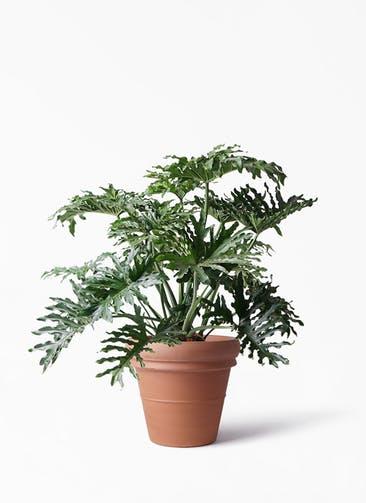 観葉植物 セローム ヒトデカズラ 8号 ボサ造り トスカーナ リムポット 付き