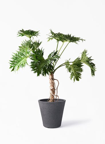 観葉植物 セローム ヒトデカズラ 8号 根あがり ビアスソリッド ブラック 付き
