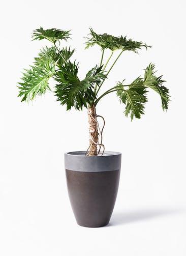 観葉植物 セローム ヒトデカズラ 8号 根あがり ファイバーストーン カプリ マッドブラウン 付き