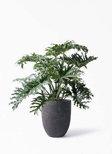観葉植物 セローム ヒトデカズラ 8号 ボサ造り ビアスアルトエッグ ブラック 付き