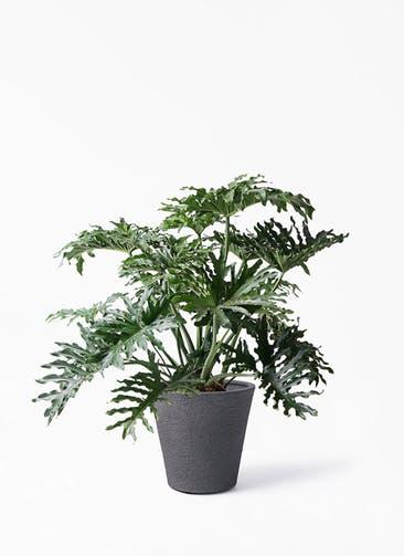 観葉植物 セローム ヒトデカズラ 8号 ボサ造り ビアスソリッド ブラック 付き