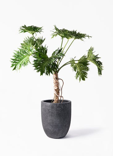観葉植物 セローム ヒトデカズラ 8号 根あがり フォリオアルトエッグ ブラックウォッシュ 付き