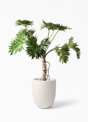 観葉植物 セローム ヒトデカズラ 8号 根あがり フォリオアルトエッグ クリーム 付き