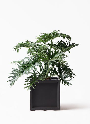 観葉植物 セローム ヒトデカズラ 8号 ボサ造り ブリティッシュキューブ 付き