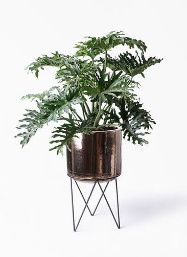 観葉植物 セローム ヒトデカズラ 8号 ボサ造り ビトロ エンデカ ゴールド アイアンポットスタンド ブラック  付き
