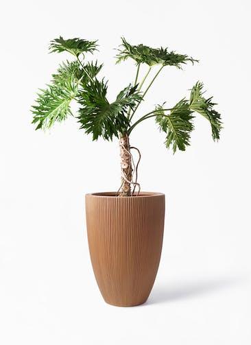 観葉植物 セローム ヒトデカズラ 8号 根あがり リブラ モノ ラスティ 付き