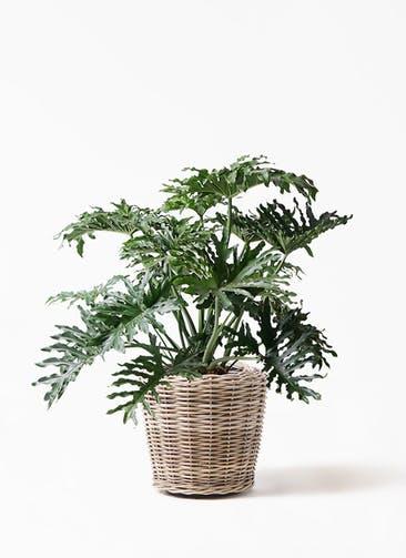 観葉植物 セローム ヒトデカズラ 8号 ボサ造り モンデリック ラタン 付き