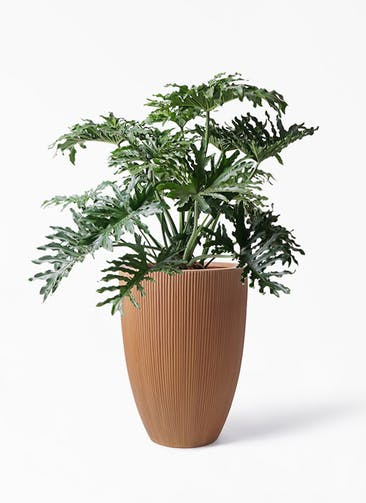 観葉植物 セローム ヒトデカズラ 8号 ボサ造り リブラ モノ ラスティ 付き