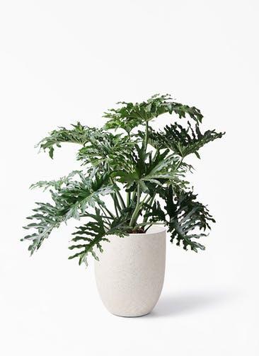 観葉植物 セローム ヒトデカズラ 8号 ボサ造り フォリオアルトエッグ クリーム 付き
