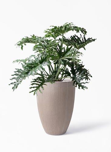観葉植物 セローム ヒトデカズラ 8号 ボサ造り リブラ モノ ブラウン 付き