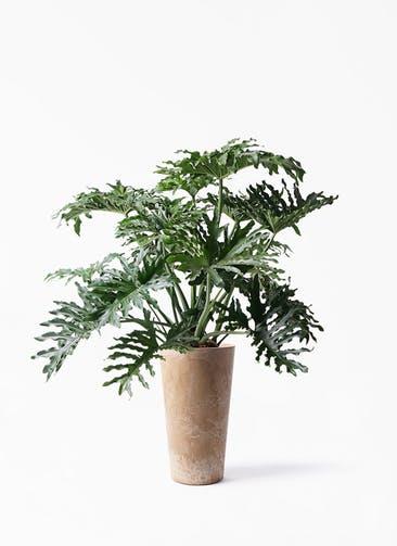観葉植物 セローム ヒトデカズラ 8号 ボサ造り アートストーン トールラウンド ベージュ 付き