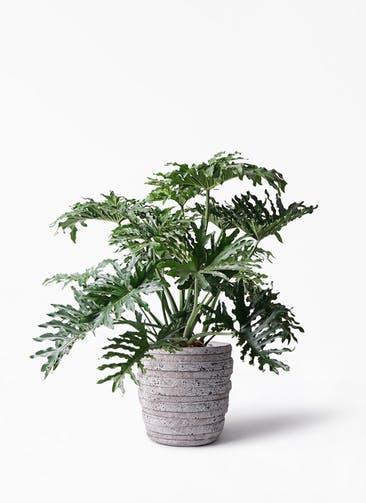 観葉植物 セローム ヒトデカズラ 8号 ボサ造り 凛(りん)ラージS  付き