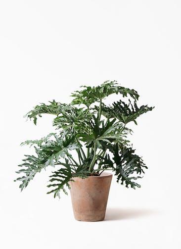 観葉植物 セローム ヒトデカズラ 8号 ボサ造り ルーガ アンティコ ソリッド 付き