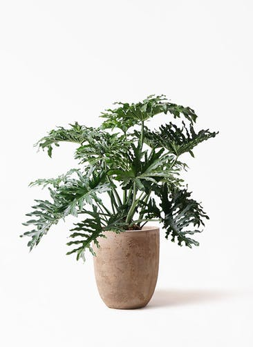 観葉植物 セローム ヒトデカズラ 8号 ボサ造り ルーガ アンティコ アルトエッグ 付き