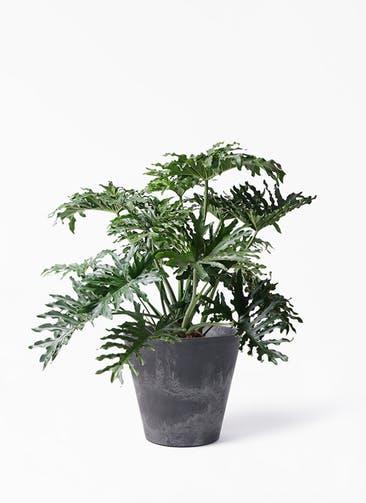 観葉植物 セローム ヒトデカズラ 8号 ボサ造り アートストーン ラウンド ブラック 付き