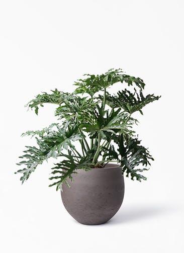 観葉植物 セローム ヒトデカズラ 8号 ボサ造り アディラボウル 濃茶 付き