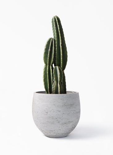 観葉植物 柱サボテン 8号 アディラボウル グレイウォッシュ 付き