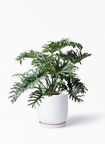観葉植物 セローム ヒトデカズラ 8号 ボサ造り アファール 白 付き