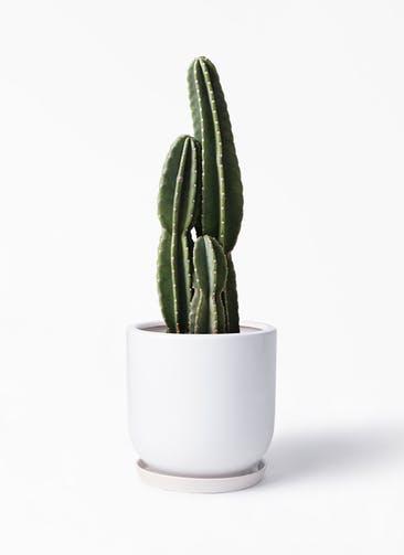 観葉植物 柱サボテン 8号 アファール 白 付き