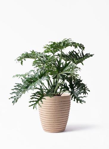 観葉植物 セローム ヒトデカズラ 8号 ボサ造り ウィスク 975 付き