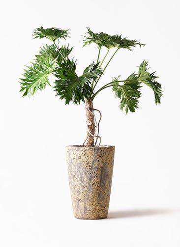 観葉植物 セローム ヒトデカズラ 8号 根あがり アトランティス クルーシブル 付き