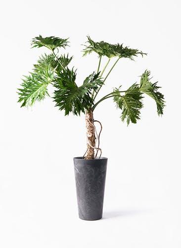 観葉植物 セローム ヒトデカズラ 8号 根あがり アートストーン トールラウンド ブラック 付き