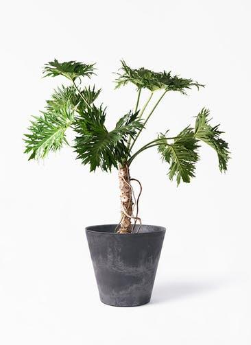 観葉植物 セローム ヒトデカズラ 8号 根あがり アートストーン ラウンド ブラック 付き