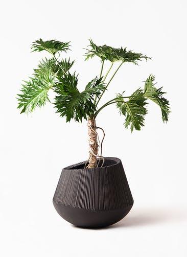 観葉植物 セローム ヒトデカズラ 8号 根あがり エディラウンド 黒 付き