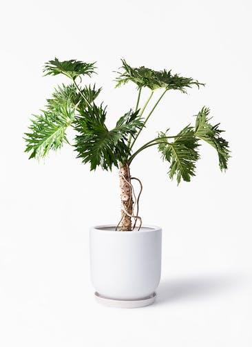 観葉植物 セローム ヒトデカズラ 8号 根あがり アファール 白 付き