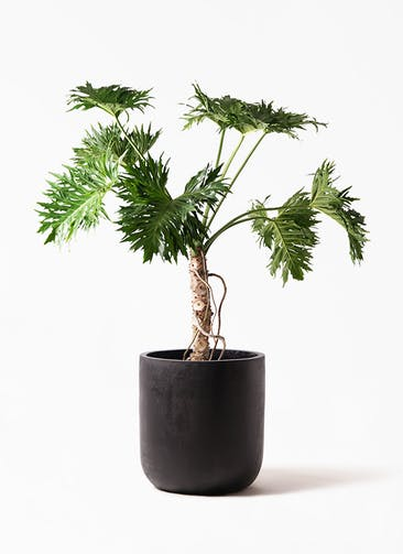 観葉植物 セローム ヒトデカズラ 8号 根あがり エルバ 黒 付き