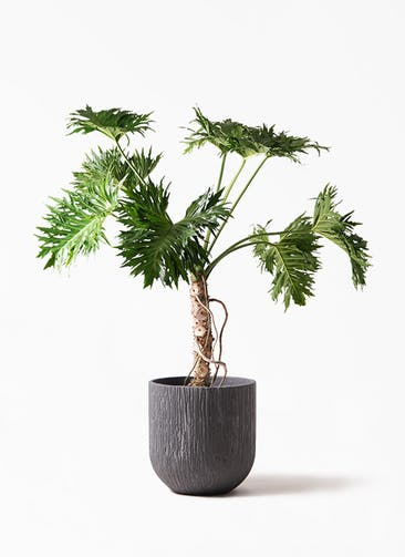 観葉植物 セローム ヒトデカズラ 8号 根あがり カルディナ ダークグレイ 付き