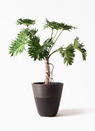 観葉植物 セローム ヒトデカズラ 8号 根あがり ジュピター 黒 付き