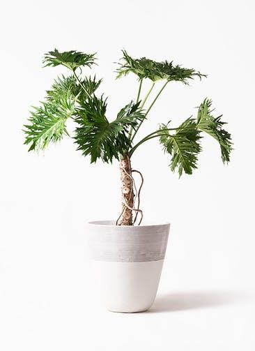 観葉植物 セローム ヒトデカズラ 8号 根あがり ジュピター 白 付き