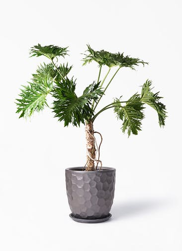 観葉植物 セローム ヒトデカズラ 8号 根あがり サンタクルストール ブロンズ 付き