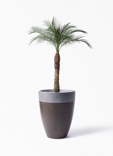 観葉植物 フェニックスロベレニー 8号 ファイバーストーン カプリ マッドブラウン 付き