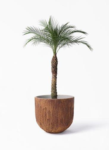 観葉植物 フェニックスロベレニー 8号 バル ユーポット ラスティ  付き
