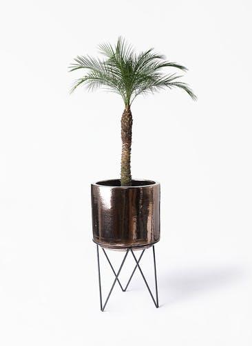 観葉植物 フェニックスロベレニー 8号 ビトロ エンデカ ゴールド アイアンポットスタンド ブラック  付き