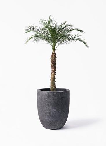 観葉植物 フェニックスロベレニー 8号 フォリオアルトエッグ ブラックウォッシュ 付き