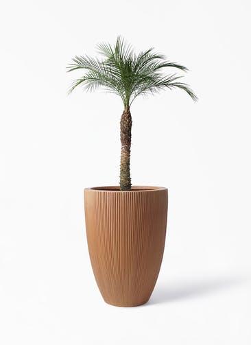観葉植物 フェニックスロベレニー 8号 リブラ モノ ラスティ 付き