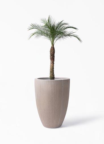 観葉植物 フェニックスロベレニー 8号 リブラ モノ ブラウン 付き