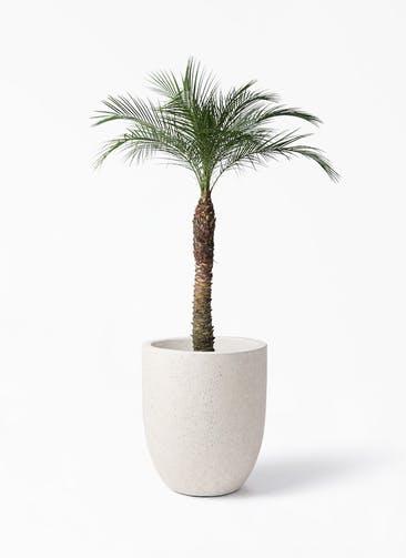 観葉植物 フェニックスロベレニー 8号 フォリオアルトエッグ クリーム 付き
