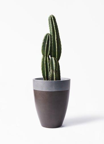 観葉植物 柱サボテン 8号 ファイバーストーン カプリ マッドブラウン 付き