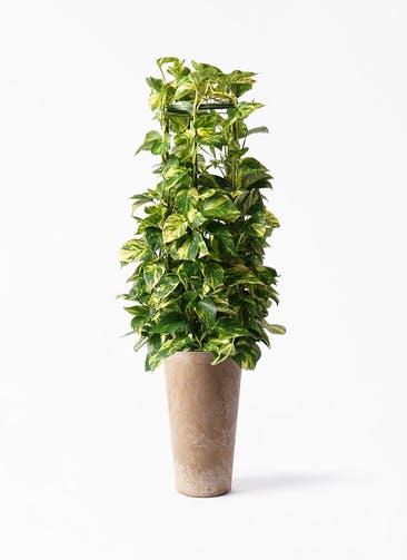 観葉植物 ポトス 8号 アートストーン トールラウンド ベージュ 付き